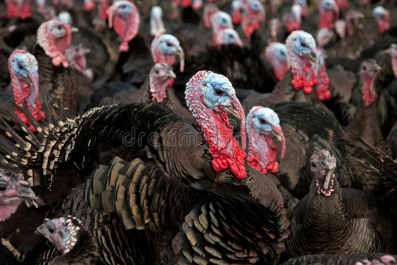 Free-Range Turkeys royalty free stock photography