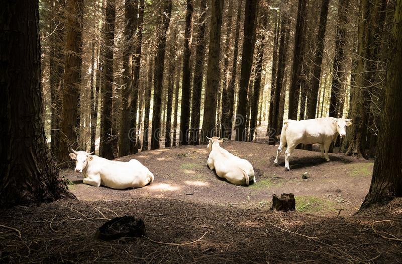 Free-range white cows in the forest. Gorbea National Park, Basque Country, Spain stock photography