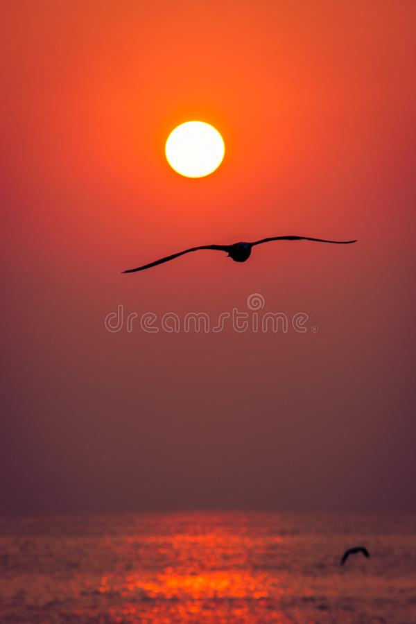 Free roaming seagull. Under the warm sunrise on the shores of the Black Sea stock photos