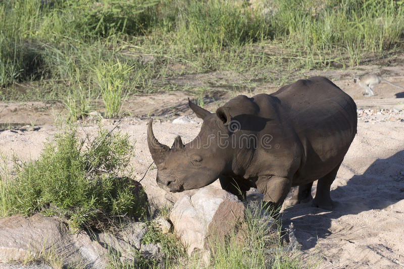 Free roaming white rhino. Cerathoterium simum stock photography