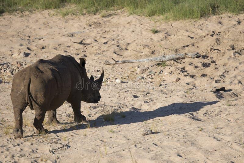 Free roaming white rhino. Cerathoterium simum stock image