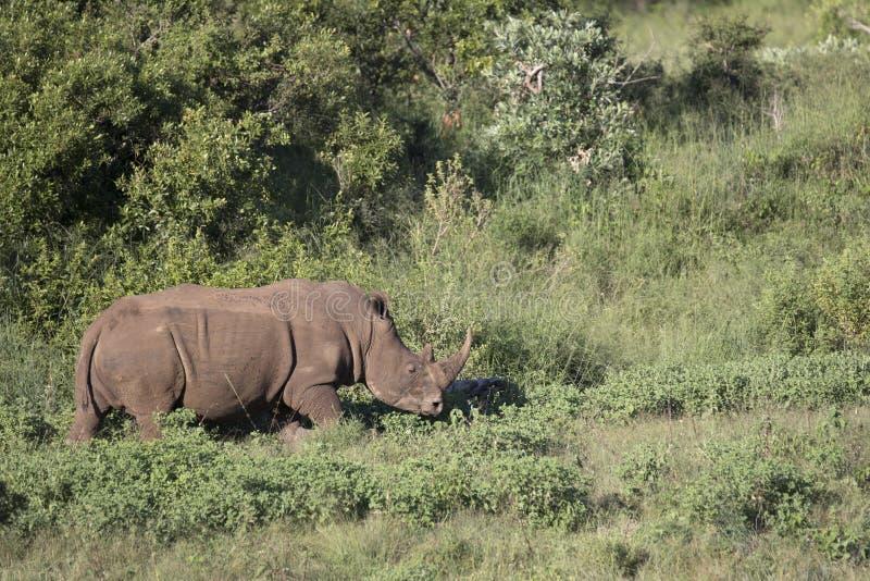 Free roaming white rhino. Cerathoterium simum stock images