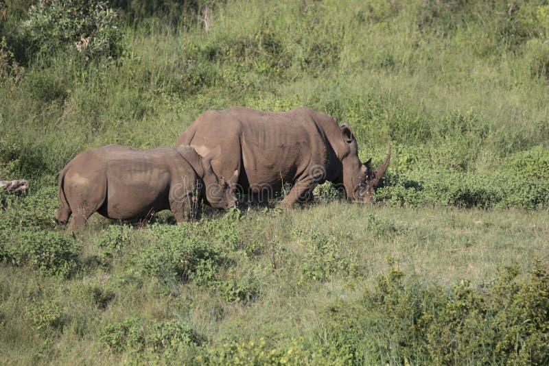 Free roaming white rhino. Cerathoterium simum royalty free stock image
