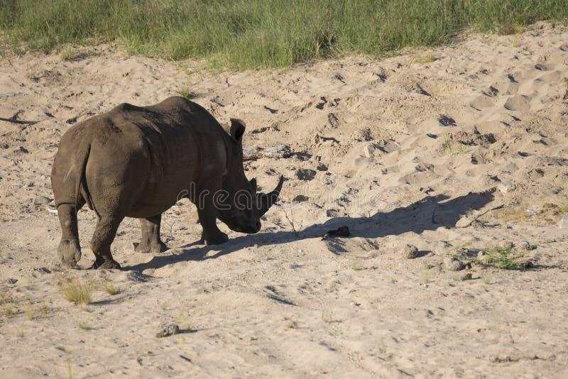 Free roaming white rhino. Cerathoterium simum stock photos