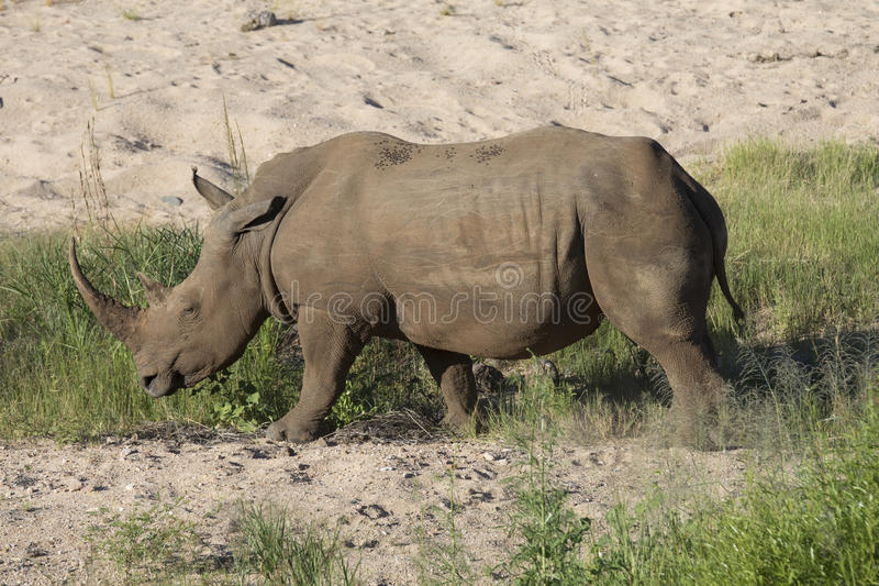 Free roaming white rhino. Cerathoterium simum royalty free stock photography
