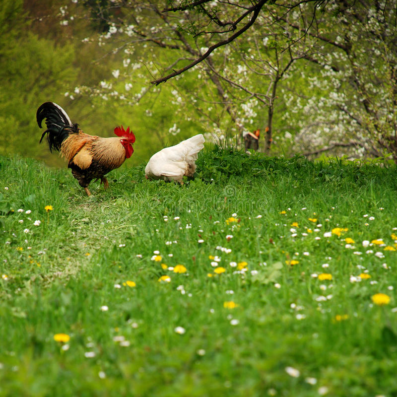 Download Free Rooster And His Hen On Spring Stock Photo - Image: 19507946