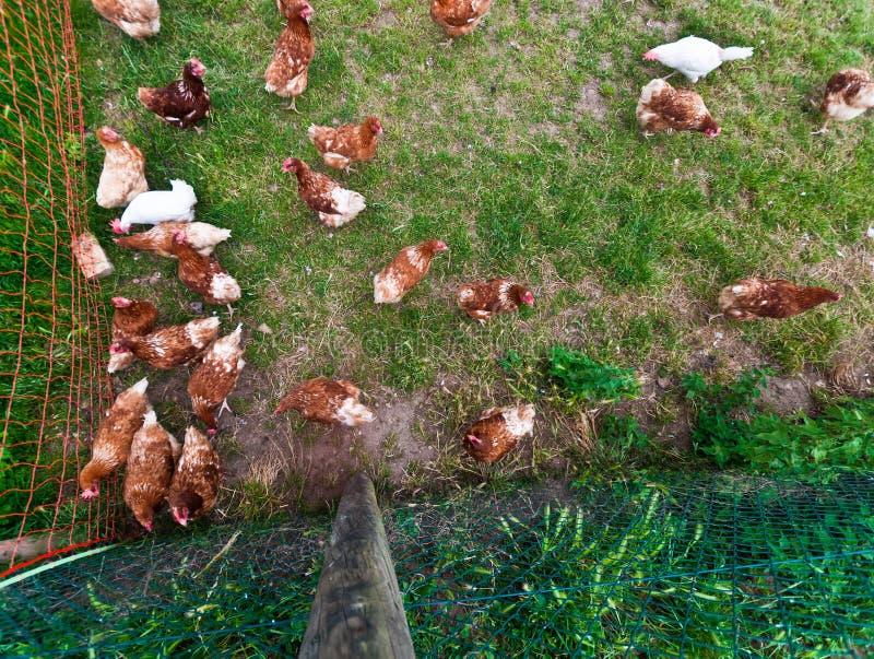 Free running chicken royalty free stock photos