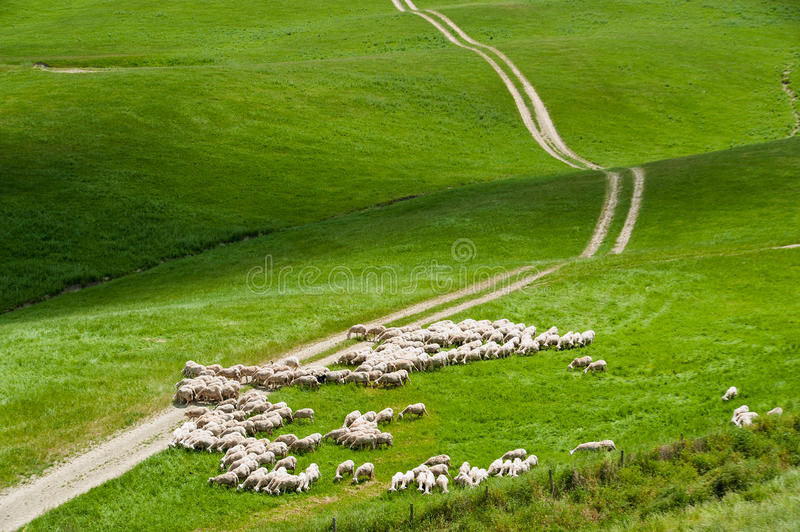 Free sheep on a green field in a summer day in Tuscany, Italy stock images