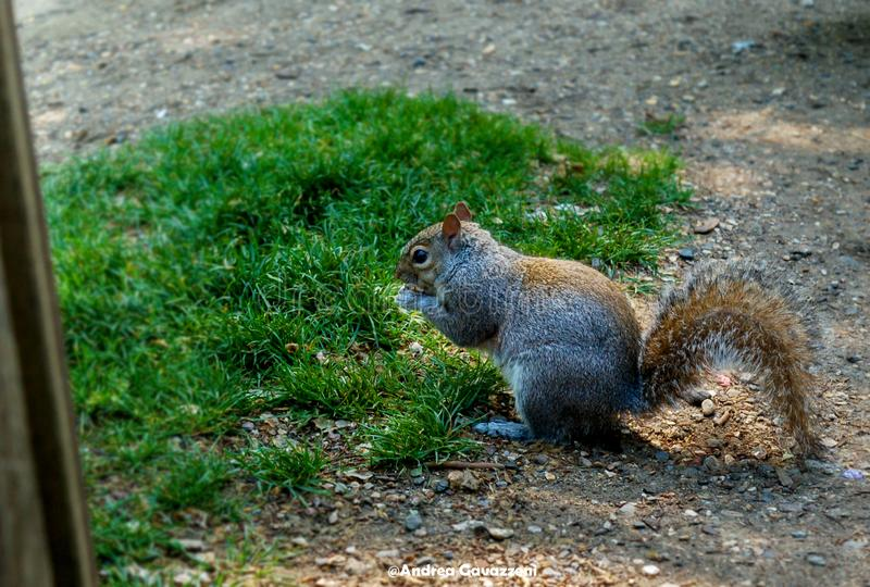 Free Squirrel in Hyde park royalty free stock photos