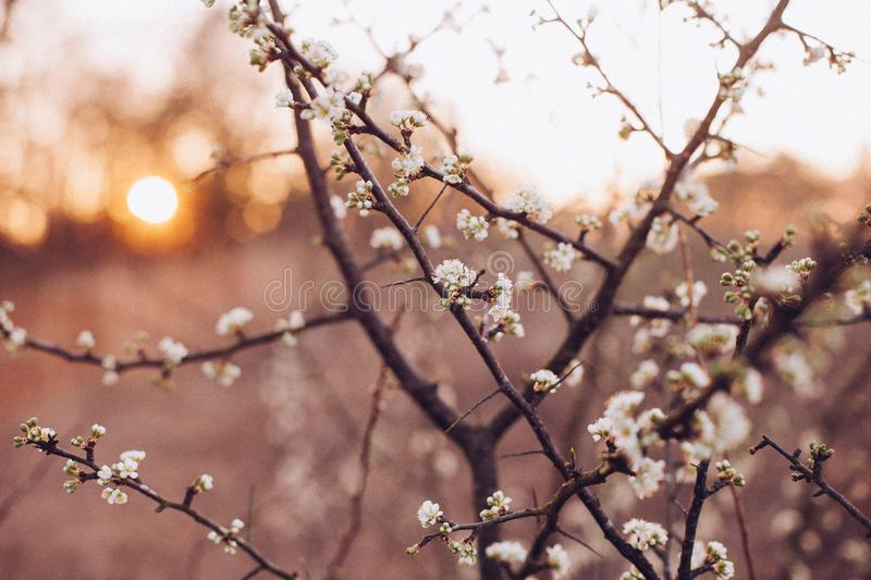 Free Stock Photos Morning Sun Rise Spring Time White Blossom Branches royalty free stock image