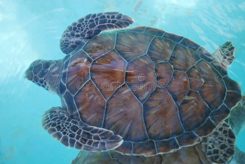 Free turtle royalty free stock photo