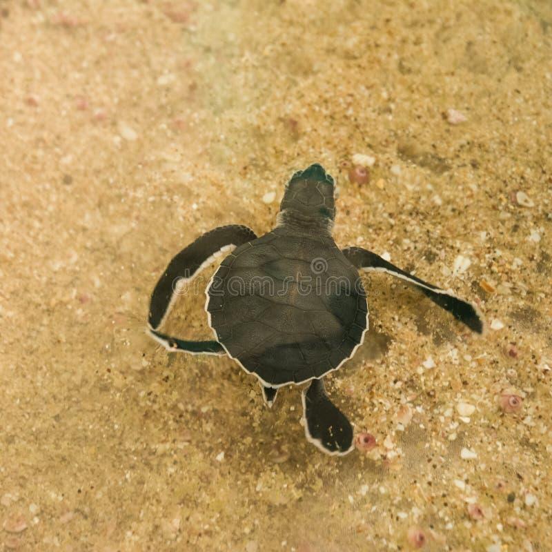 Free Turtle cub swimming in the sea stock image