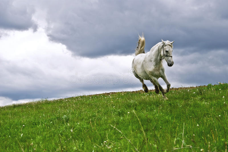 Free white horse in the summer field royalty free stock photos