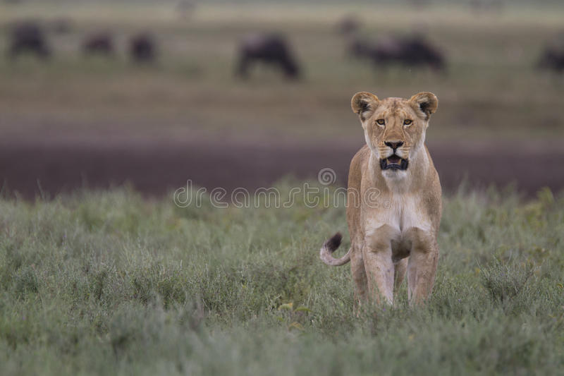 Free wild roaming african lion. Portrait of free wild roaming african lionin spring 2015 stock images