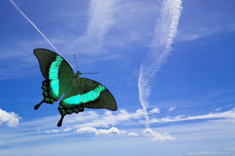 Freedom. This is an image of a Green Peacock Swallowtail Butterfly in flight across the jet trails in a deep blue sky. The vast expanse of the sky suggests stock images