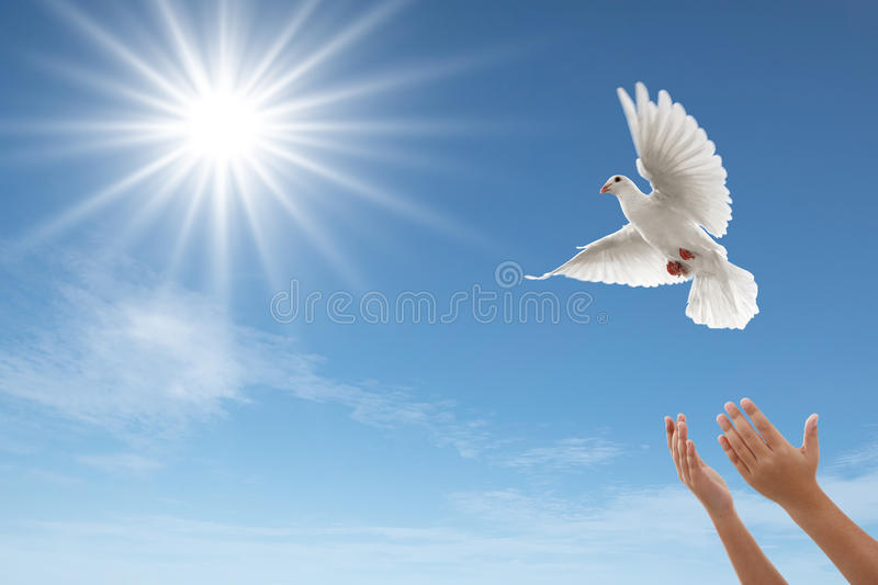 Freedom. Pair of hands releasing a white dove