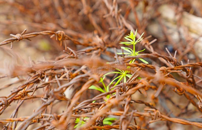Freedom concept. Selective focus of green plant growing through. Roll of rusty barb wire stock photo