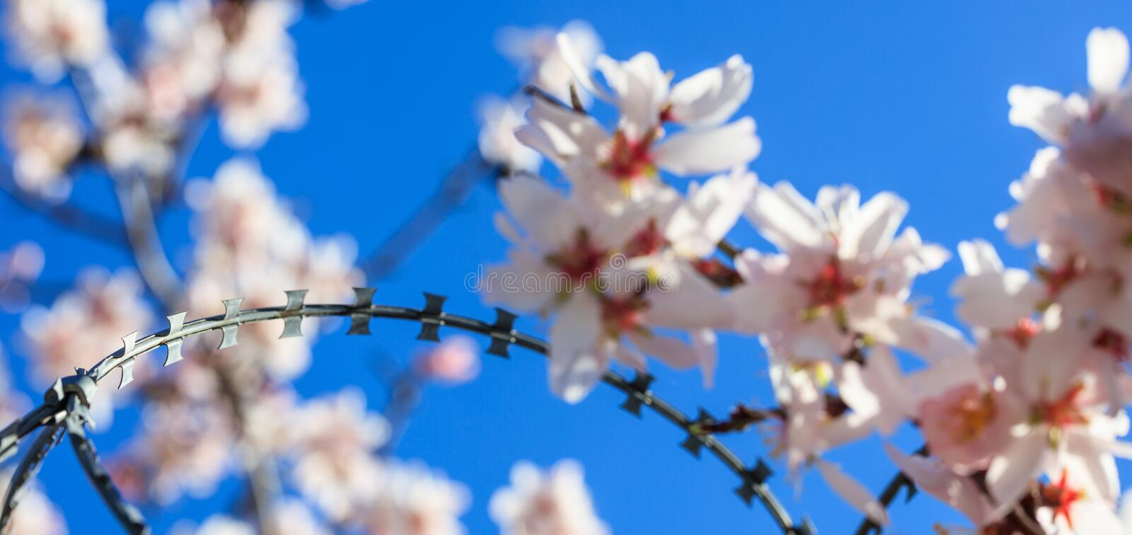 Freedom concept. Wire barbed fence and blur almond tree blossoms on blue sky background royalty free stock photo