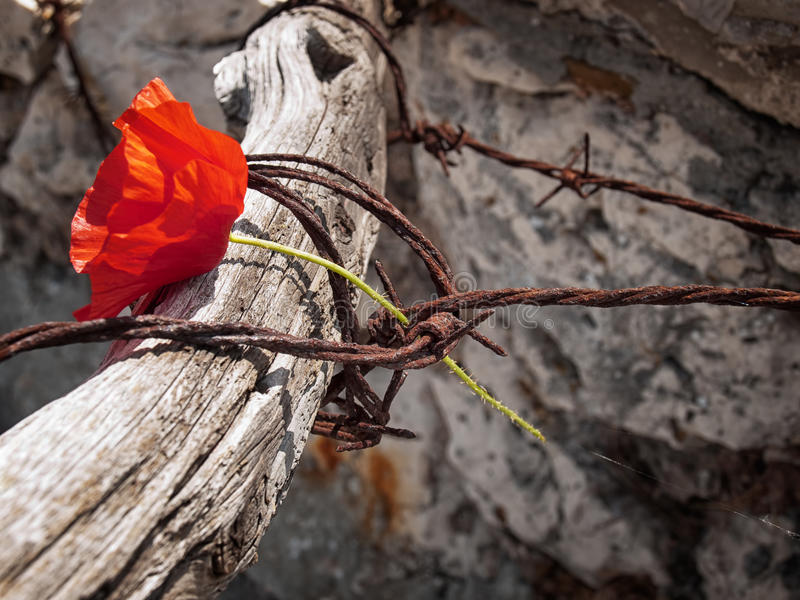 Freedom or Death. Conceptual image about struggle for freedom, is represented with red poppy flower and rusty barbed wire royalty free stock photography