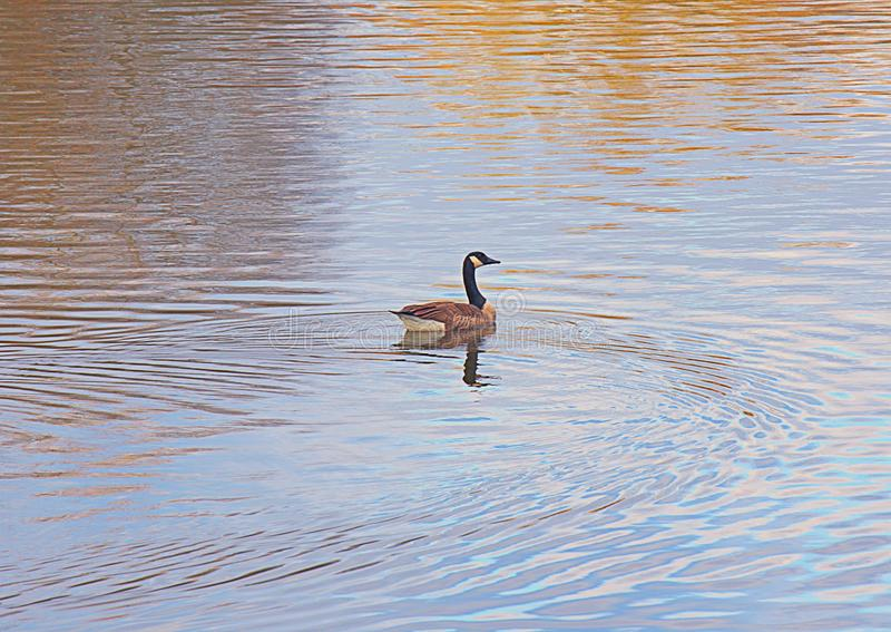 The Freedom of Life as described by a goose. A goose floats is calm waters of a lake with nothing coming its way and life free of impediments. Natural colors royalty free stock image