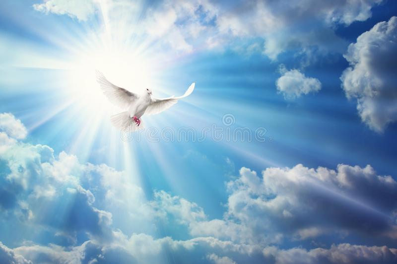 Freedom, peace and spirituality pigeon, white dove on blue sky. Freedom, peace, miracle, hope, faith and spirituality white dove, pigeon flying in front on the stock photos