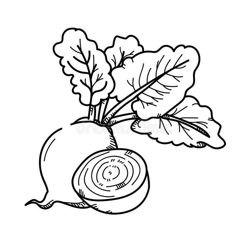 Freehand drawing illustration Beetroot. Freehand drawing illustration Beetroot on white royalty free illustration