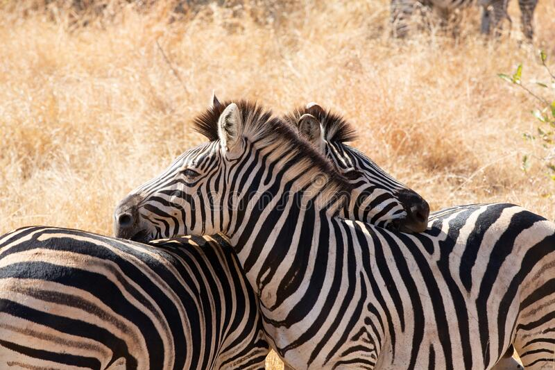 Freely grazing zebras in Kruger park, South Africa. Freely grazing and wiping zebras in Kruger park, South Africa stock photography