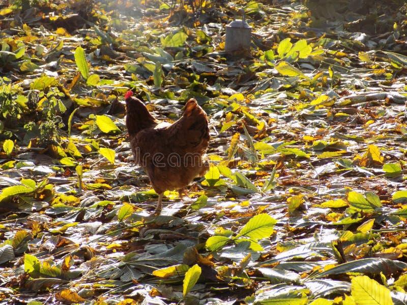 Freerange Chicken in Crookham, Northumberland UK obrazy stock