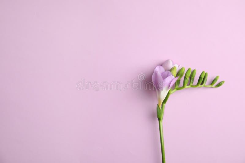 Όμορφο freesia με τα ευώδη λουλούδια στο υπόβαθρο χρώματος, τοπ άποψη στοκ φωτογραφία με δικαίωμα ελεύθερης χρήσης