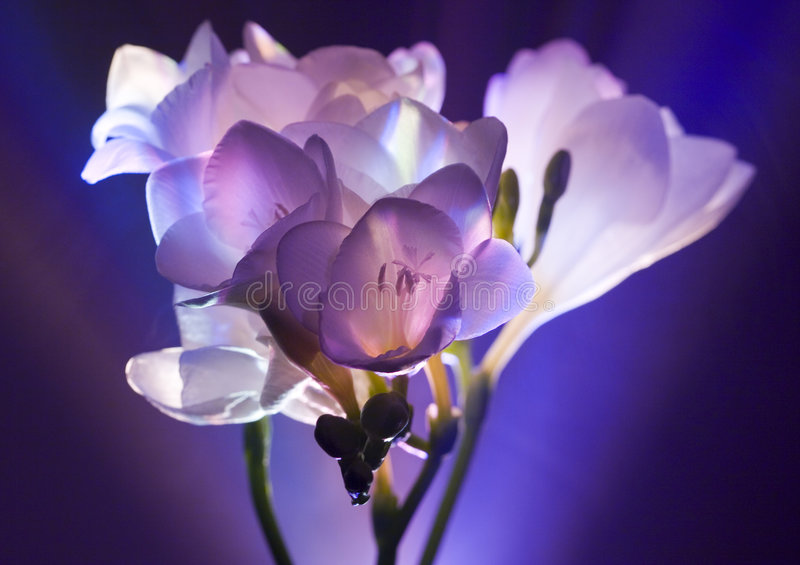 freesia obrazy royalty free