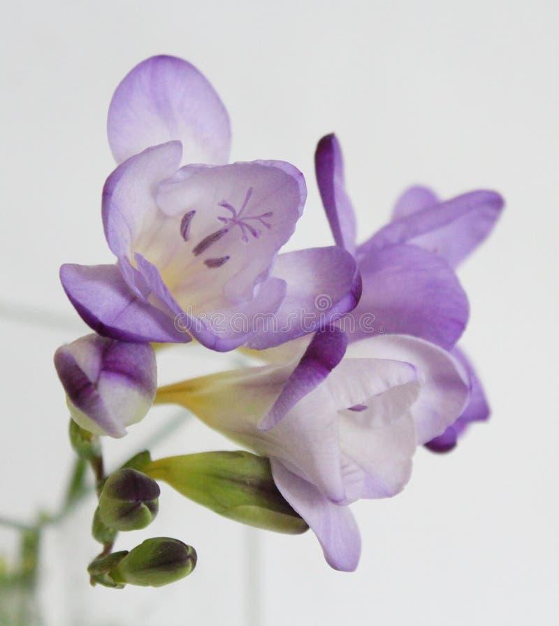 freesia royaltyfri fotografi