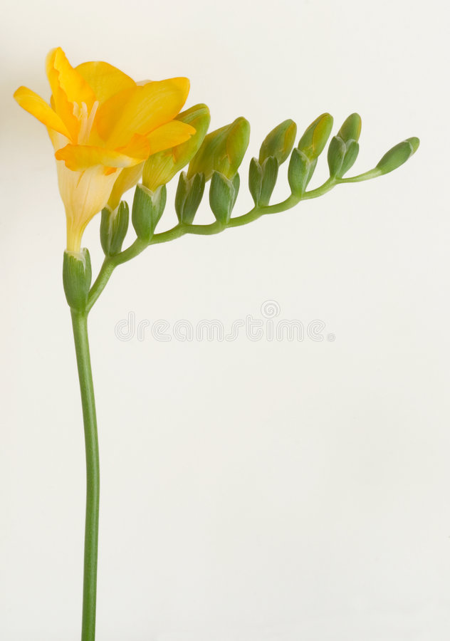 Freesia amarelo imagem de stock royalty free