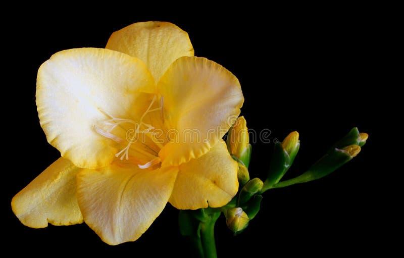 Freesia amarelo imagem de stock