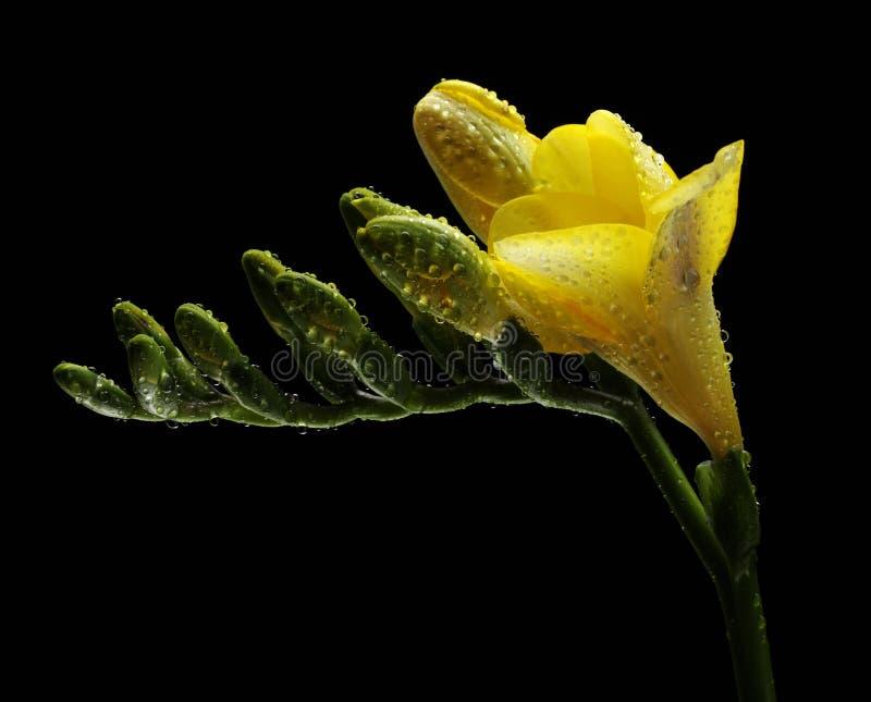 Freesia amarelo com gotas da água imagens de stock