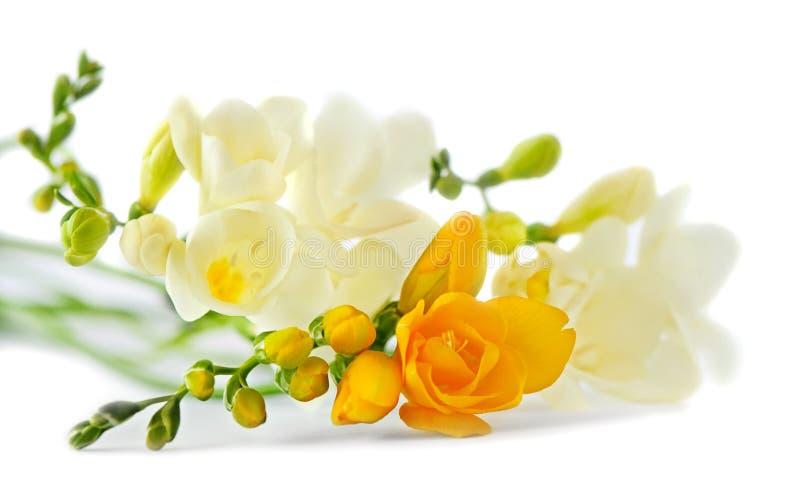 Freesia auf Weiß stockbild