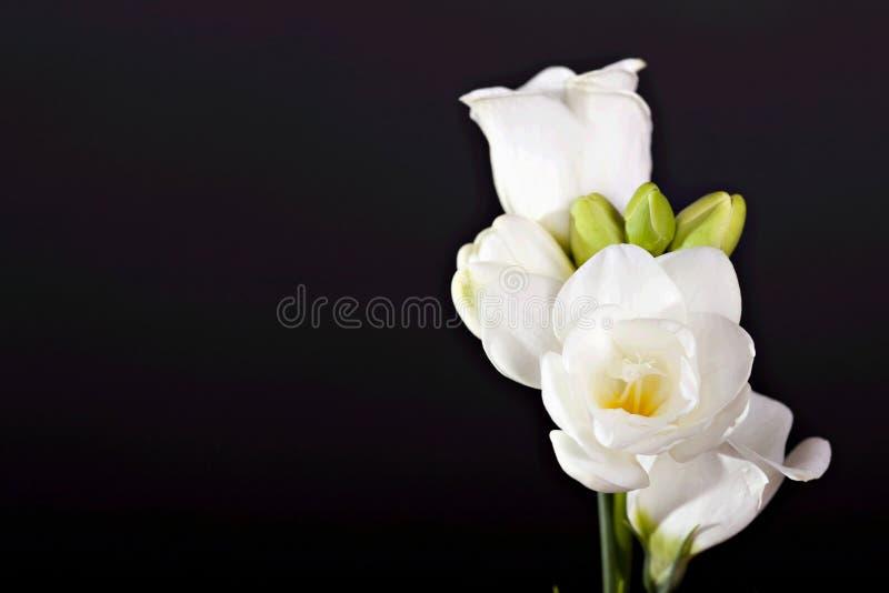 Freesia bianco fotografia stock libera da diritti