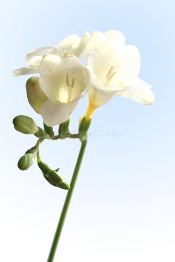 Freesia blanc photographie stock