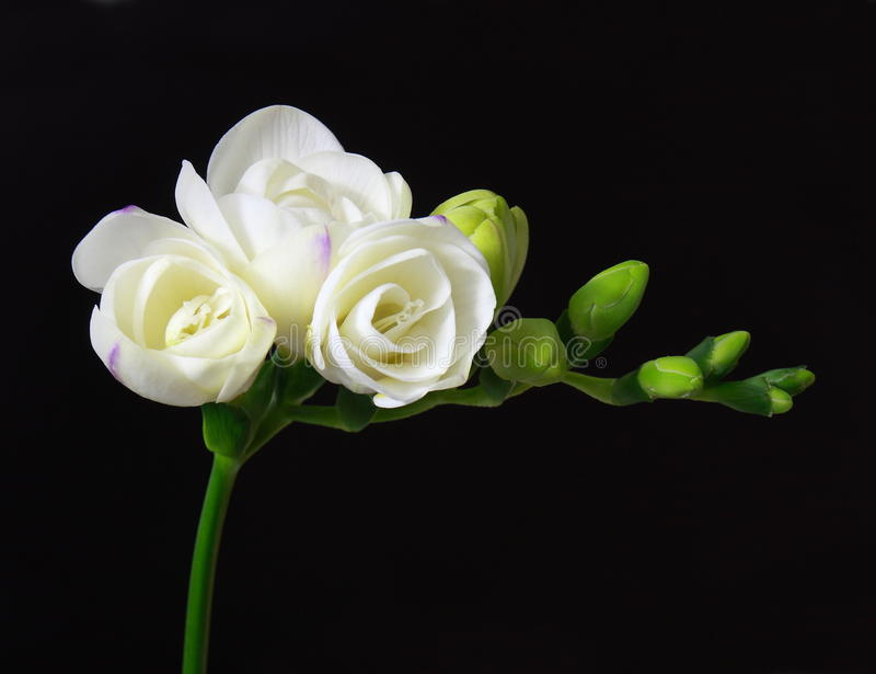 Freesia blanc images stock