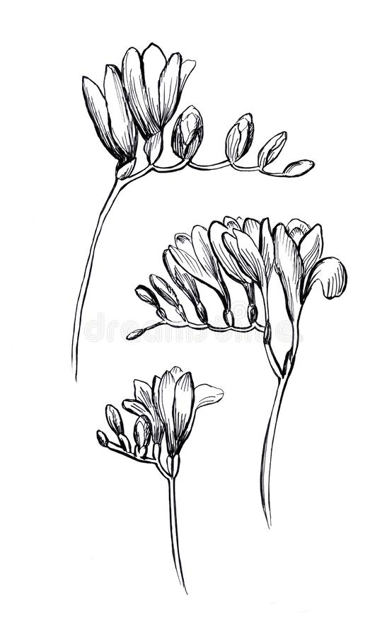 freesia blom- set f?r element Hand dragen illustration p? vit bakgrund E stock illustrationer