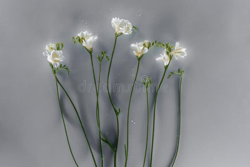 Freesia blommar över grå bakgrund royaltyfria foton