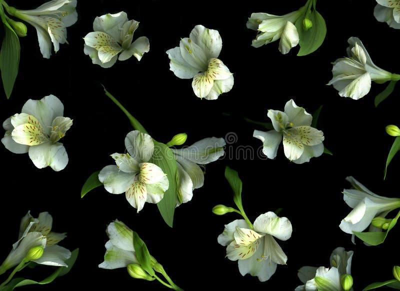 Freesia Blossoms on Black royalty free stock photos