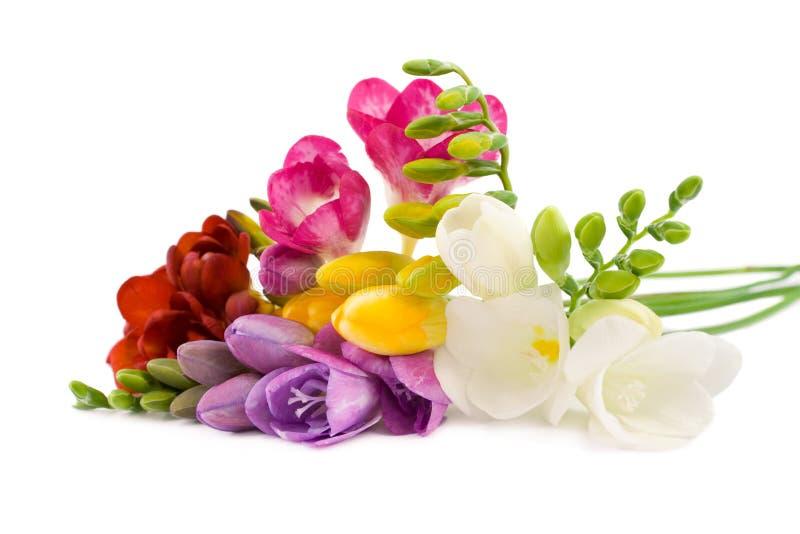Freesia floreciente. foto de archivo libre de regalías
