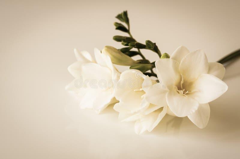 Freesia flower. Toned sepia still-life image of white freesia flower stock photo