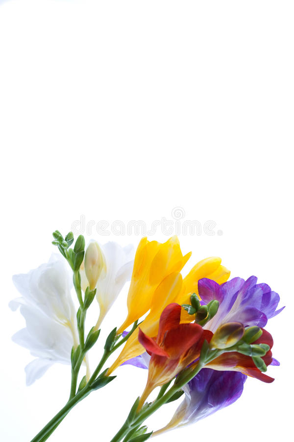 Download Freesia  flowers stock photo. Image of beauty, elegance - 18587710