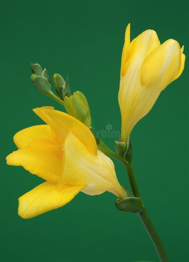 Freesia giallo fotografia stock