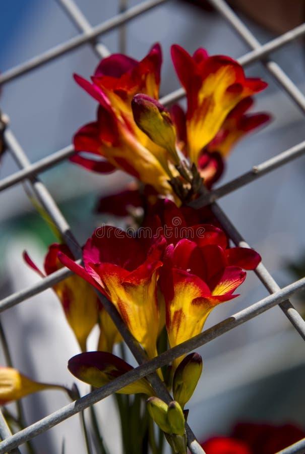 Freesia i trädgården arkivfoton