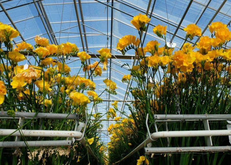 Freesia i växthus arkivfoto