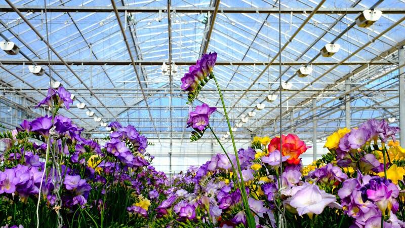 Freesia i växthus royaltyfria foton