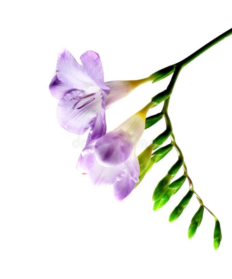 freesia isolerad violet arkivbild