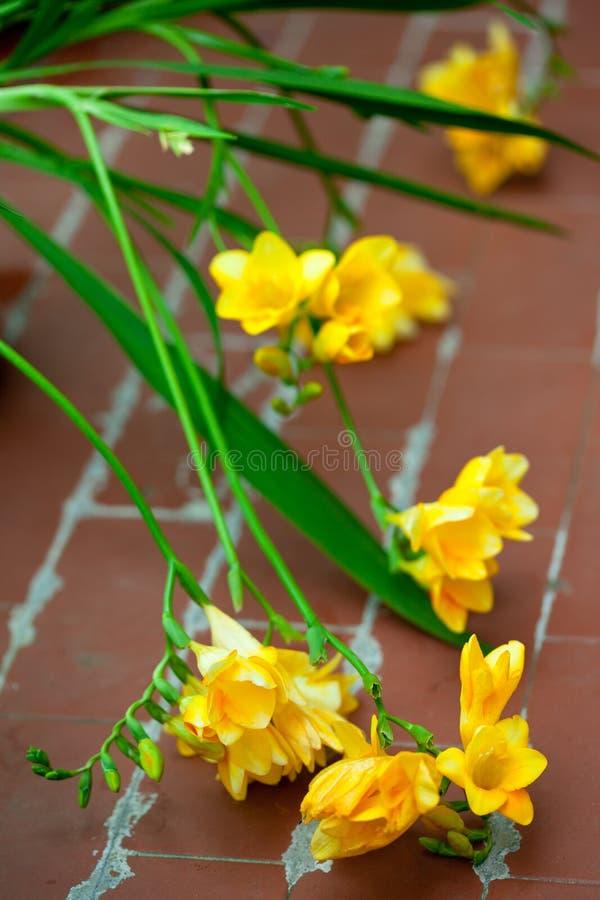 Freesia jaune photographie stock libre de droits